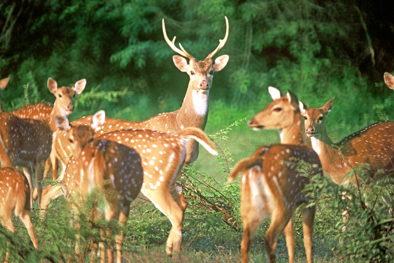 deers-in-sri-lanka